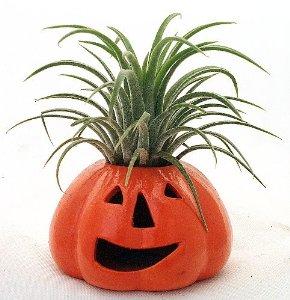 amazon com ceramic pumpkin tillandsia