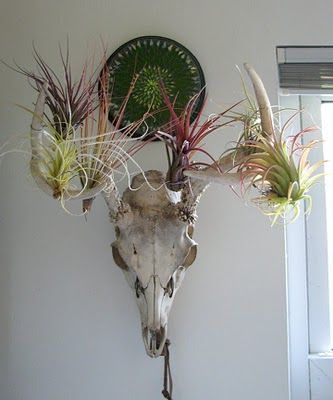 pinterest com unaodd blogspot com tillandsia skull