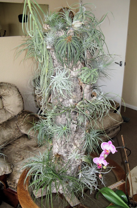 Tillandsia_tower_arp wiki tree